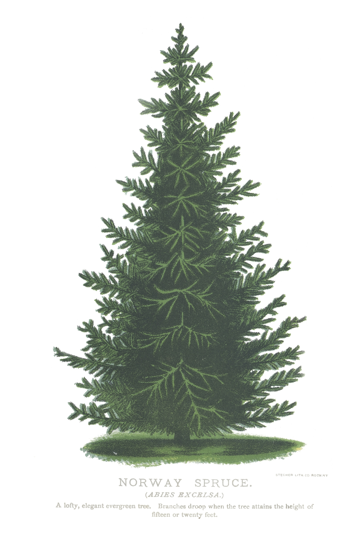 Norway Spruce | Flower And Plant Posters Poster Reproductions